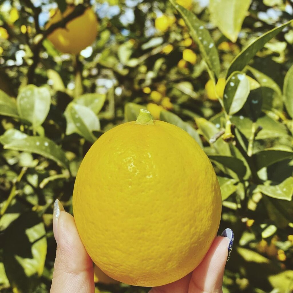 平岡農園 レモン狩り